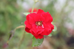 America's Choice, H.C. Anderson Floribunda Rose (Rosa)  'POUlander'