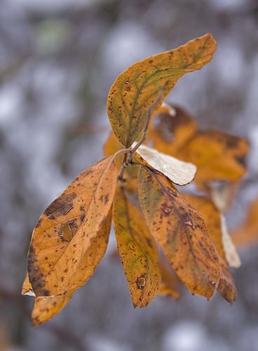fall leaf in winter