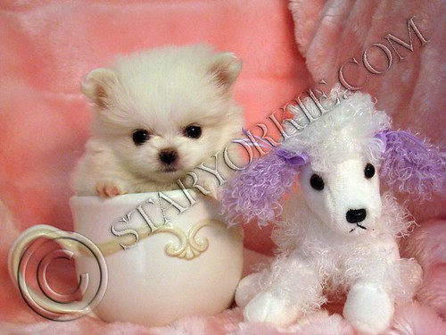 teacup pomeranian puppies for free. Pomeranian puppy-Coconut (6)
