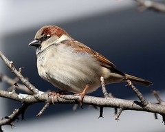 House Sparrow 2 (AllHarts) Tags: naturesfinest coth housesparrows supershot avianexcellence alittlebeauty pogchallengewinnershalloffame housesparrow2 naturespotofgold{competitivegroup} naturallywonderful rainbowelite 5wonderwall