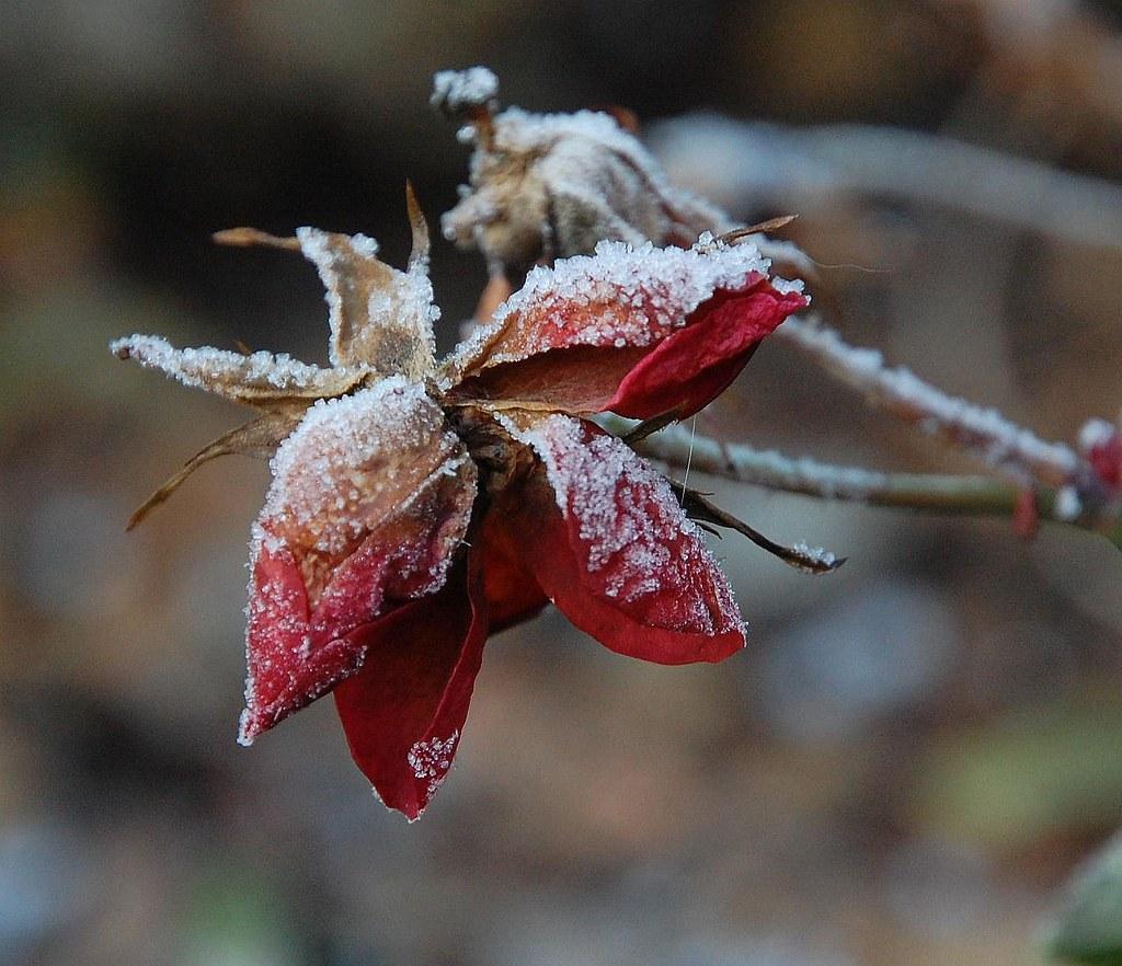 Frossen/Frozen
