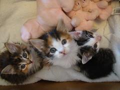 skc | fosters 201 (kittiecatd) Tags: kittens adopted fostering threeweeksold january2009 smoggyskittenclub lortsmithanimalhospitalaustralia