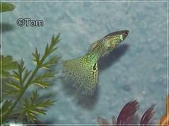 guppy (TomLovesAnimals) Tags: fish guppy guppies livebearer