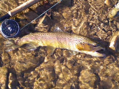 New Years Wild Brown Trout