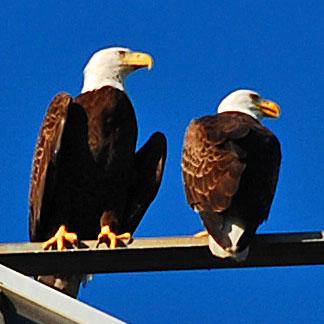 Bald Eagles Excerpt