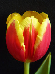 Think spring (annkelliott) Tags: flowers canada flower calgary nature garden lumix spring flora explore alberta tulip naturesfinest interestingness172 i500 annkelliott impressedbeauty fz18 panasonicdmcfz18 p1080850fz18 vosplusbellesphotos explore2009january11