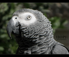 (AMAL MOHAMMED..) Tags: hope african gray parrot 2009