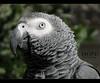 (AMAL MOHAMMED..❤) Tags: hope african gray parrot 2009 الرمادي لولي الببغاء الأفريقي