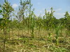 Mangrove trees cleared of other ve…