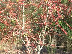 berries! (courtneysmilestoo) Tags: red berry