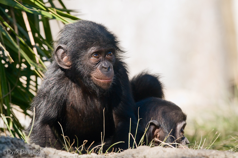 Секс обезьян в дикой природе видио