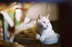 Bailey, Contemplating Life Without A Tail (Plemon Studios) Tags: white film cat 35mm dof baily canonfx 400speed 58mm12