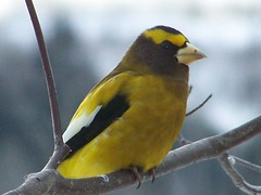 Evening Grosbeak (Lily C.) Tags: canada bird yellow jaune newbrunswick oiseau branche lilyc grosbecerrant fantasticwildlife eveniggrosbeak