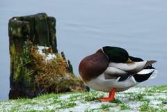 DSC_0950 (RutaSL) Tags: nature birds gamta pauksciai