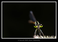 7.5 Damselfly ... black BG ... (black or green)