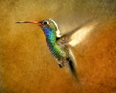 """ Fusion "" (Alfredo11) Tags: motion texture textura speed mexico hummingbird flash movimiento alfredo rapido treatment colibri picaflor sekonic pocketwizard rapidez nikoncreativelightingsystem nikond3 bejiaflor elinchromlite2"