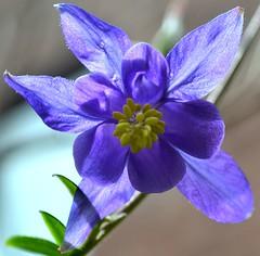 Aquilegia 4 (GemElle Photography - struggling to keep up) Tags: flowers blue flower macro wow garden petals amazing nikon purple stamen airmyn d3100 gemelle1