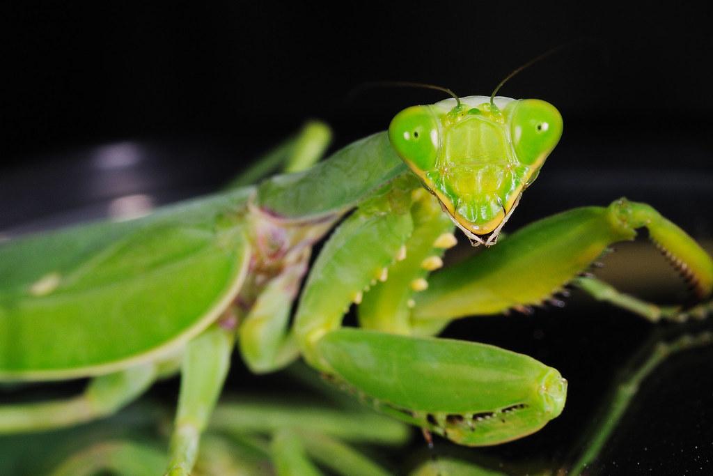 寬腹螳螂(雌) Hierodula bipapilla