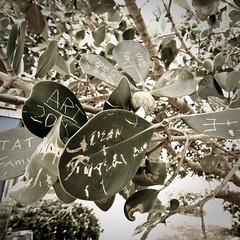 Graffiti Tree (NorthStarVIII) Tags: tree green leaves graffiti hawaii tokina kauai uwa spoutinghornpark