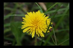Amarela (jsfernandes07) Tags: brazil brasil flor amarelo floweryellow naturesfinest canon30d jaquelinefernandes jaquelinefernande