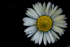 Alone (_Zahira_) Tags: flower macro lafotodelasemana alone darkness flor olympus nd margarita sola oscuridad e500 uro 35mmmacro p1f1 ltytrx5 ltytr2 ltytr1
