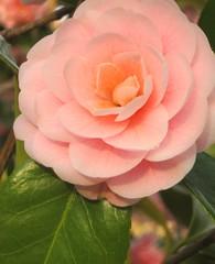 Pretty in Pink 2 (Kurlylox1) Tags: pink flower spring camellia camille laflormasbella fantasticflower mywinners natureselegantshots