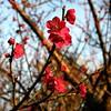 Japanese apricot, pink (紅梅) #4818 (Nemo's great uncle) Tags: flower tokyo flora 東京 花 ume prunus 梅 japaneseapricot kinutapark 砧公園 世田谷区 setagayaku tōkyō 紅梅 サクラ属