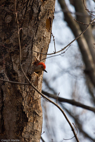 Red-bellied Woodpecker in Nest