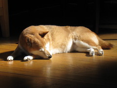 [フリー画像] [動物写真] [哺乳類] [イヌ科] [犬/イヌ] [柴犬/シバイヌ] [寝顔/寝相/寝姿]     [フリー素材]