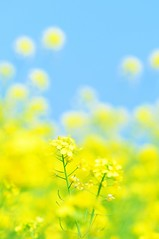 Fun in the Sky (*Sakura*) Tags: flower green yellow japan landscape tokyo spring blossom bluesky explore sakura bud canola    macro
