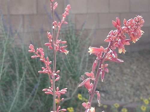 red yucca Spring 08 by gil thorp princess