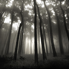 forest fog (louie imaging) Tags: sanfrancisco morning trees light bw tree 6x6 mamiya fog forest sunrise rising dawn san francisco moody forrest kodak tmax foggy atmosphere mystical magical presidio jazzy enchanted 8x20