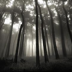 forest fog (louie imaging) Tags: sanfrancisco morning trees light bw tree 6x6 mamiya fog forest sunrise rising dawn san francisco moody forrest kodak tmax foggy atmosphere mystical magical presidio jazzy enchanted 8x20