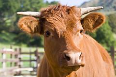 Young Bull 9956 (Kurt Preissler) Tags: california ranch cattle farm beef young bull farmland pch highway1 steak venturacounty corral canoneos5d kurtpreissler preisslermediaservices