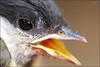 Broken bird #1 (leω) Tags: macro bec oiseau bébé tamron90mm oisillon mésangebleue
