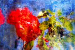 "rose (rui ""the Mix"" correia) Tags: flowers sun abstract flower color detail green nature colors rose lumix mix mood vida rui fragments themix correia impressedbeauty emotionalgrooveart ruicorreia ruithemixcorreia namesnumbers photosdontneedtitle"