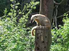 Coati (marc_be) Tags: bear animals zoo europe belgium belgie bears exhibit antwerp dieren antwerpen flanders coati dierentuin vlaanderen enclousure neusbeer brilbeer specatcled