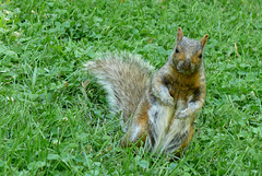 you know (Javiera Ovalle Sazie) Tags: park parque canada squirrels montreal 08 ecureuils ardillas