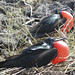 male frigate birds attract their mates with their red sac
