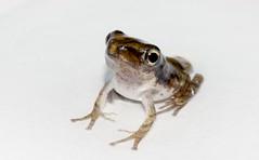 [フリー画像] [両生類] [蛙/カエル]         [フリー素材]