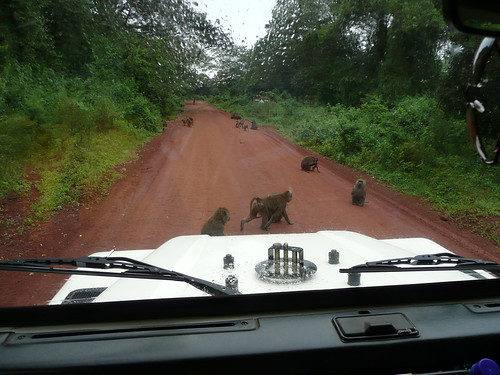 Baboons crossing the road