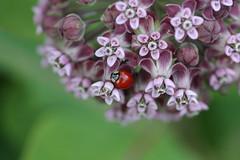 macro weed milkweed ladybuy