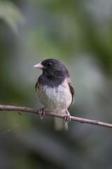 Junco Posing (segamatic) Tags: bird animal closeup canon eos backyard junco 40d challengeyouwinner sigma150mmf28exdgmacro photofaceoffwinner pfogold