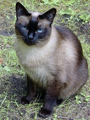 Siamese Cat (sara-maria) Tags: animal cat kitten kitty siamese katze blau augen siam tier siamkatze