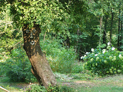apple tree with old man face garden photo by lee hansen