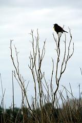 Cabecita Negra (Alexia´s) Tags: bird ave pajaro pjaro aplusphoto