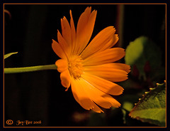Don't let the sun go down on me....... (Jay Bees Pics) Tags: orange sun flower macro green leaves garden stem ngc petal 2008 marigold onblack potofgold iloveit naturesfinest platinumphoto colorphotoaward theunforgettablepictures theperfectphotographer goldstaraward excapturemacro excellentsflowers wonderfulworldofflowers rubyphotographer mimamorflowers thechallengefactory damniwishidtakenthat 100commentgroup 100commentsgroup flickrflorescloseupmacros gliabruzzesi