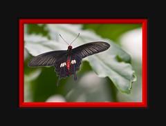 Common Rose butterfly (Arie van Tilborg) Tags: rose zoo blijdorp moth butterflies bamboo mormon vlinders motten tilborg