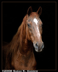 Royal, a 31 year old Thoroughbred (Rock and Racehorses) Tags: portrait horse senior blackbackground connecticut rip royal explore doorway chestnut 1977 31 thoroughbred dirtydog cushings seatchthebest 31yearoldhorse yourfavoritesonflickr rip2011