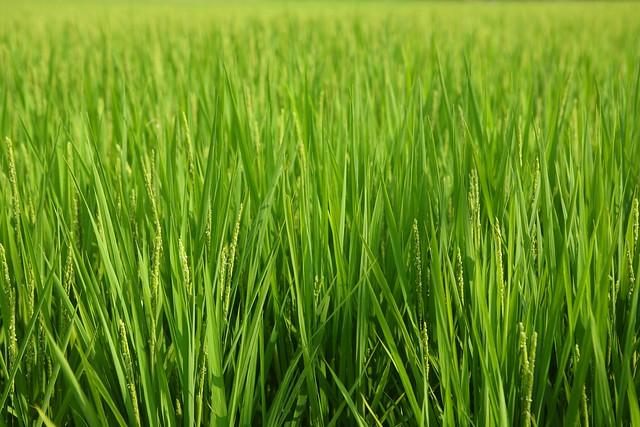 緑稲のカーペット